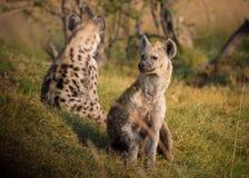 Hyena, Africa, Botswana, Animal Stock Photo