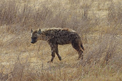 A Hyena in Africa. A Hyena walk in Savannah in Africa Royalty Free Stock Image