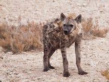 Hyena in african grassland of Etosha National Park, Namibia, Africa Royalty Free Stock Photo