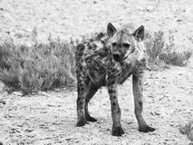 Hyena in african grassland of Etosha National Park, Namibia, Africa Stock Photography