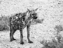 Hyena in african grassland of Etosha National Park, Namibia, Africa Stock Image