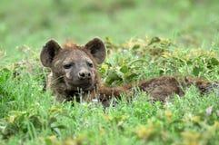 Hyena in african natural park Stock Photos