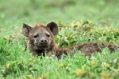 Hyena in african natural park with green background Stock Image