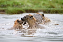 Hyena in african natural park Stock Image