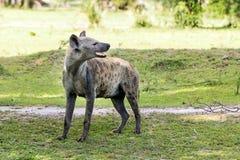 Hyena in the African savanna. Hyena walking in the African savanna, Tanzania Royalty Free Stock Photos