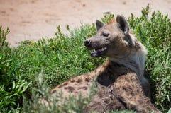 Hyena  on african savannah Stock Photo