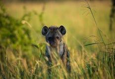 Hyena  on african savannah Stock Images