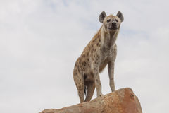 Hyena. An african spotted hyena in a cloudy day royalty free stock photos