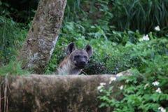 Hyena Royalty Free Stock Photos