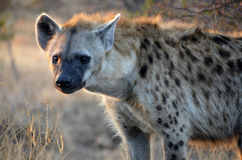 Hyena. Animal Stock Photo