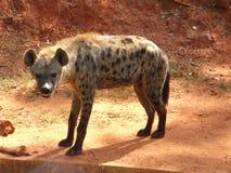 Hyena. The hyena animal in the zoo Stock Photos
