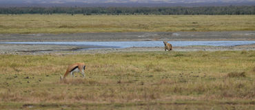 Hyena and Antelope Royalty Free Stock Photo