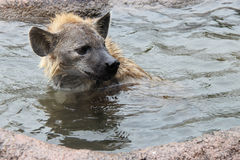 A hyena is bathing in a pond in a zoo in Osaka (Japan) Stock Image