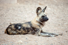 Hyena being alert Stock Photography