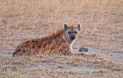 Hyena bij Amboseli Nationaal Park, Kenia Stock Afbeeldingen