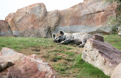 Hyena in biopark Stock Photography