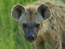 Hyena Biyamiti Stock Photography