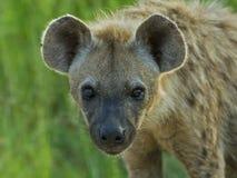 Hyena Biyamiti fotografia stock