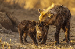 Hyena bully Stock Photography