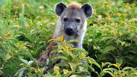 Hyena in the bushes Stock Photos