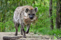 Hyena carries hay 2 Royalty Free Stock Image