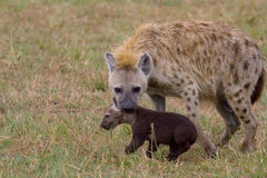 Hyena carrying hyena cub Royalty Free Stock Photography