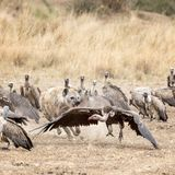 Hyena chasing a vulture away from a kill Stock Image