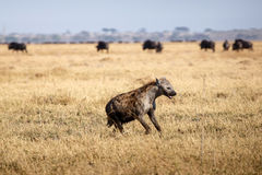 Hyena - Chobe N.P. Botswana, Africa Royalty Free Stock Photo