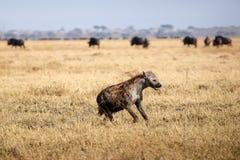 Hyena - Chobe N.P. Botswana, Africa Royalty Free Stock Photo