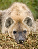 Hyena close up. Close up image of a hyena in Masai Mara Kenya Stock Photo