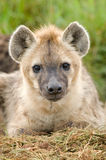 Hyena close up. Close up image of a hyena in Masai Mara Kenya Stock Photos