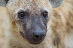 Hyena close up Royalty Free Stock Images