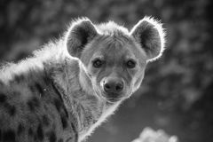Hyena. Close up in black and white stock images