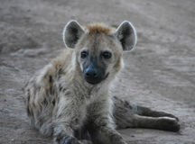 Hyena close up in a game reserve. In Kenya, Africa Stock Images