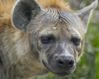Hyena. Close-up portrait of a hyena royalty free stock photo