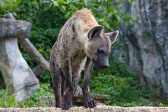 Hyena Stock Images