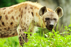 Hyena closeup Royalty Free Stock Images