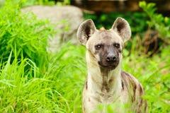 Hyena closeup. Closeup of a hyena on meadow Stock Photography