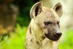 Hyena closeup. Closeup of a hyena on meadow Stock Image