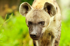 Hyena closeup. Closeup of a hyena on meadow Royalty Free Stock Photo