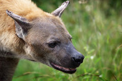 Hyena closeup in Kruger national park Royalty Free Stock Photography