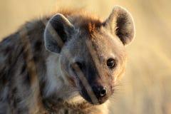 Hyena con la reflexión de la salida del sol en su ojo Foto de archivo libre de regalías