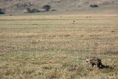 Hyena - cráter de Ngorongoro, Tanzania, África Imagen de archivo libre de regalías