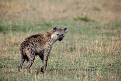 hyena crocuta που επισημαίνεται Στοκ εικόνα με δικαίωμα ελεύθερης χρήσης