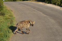 Hyena Crossing. Spotted hyena crossing the road in Addo Elephant national park,South Africa Royalty Free Stock Image