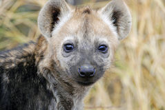 Hyena cub. Cute smiling spotted hyena cub, looking right at the viewer. The picture was taken in Kruger National Park, South Africa Royalty Free Stock Photography
