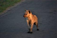 Hyena cub Royalty Free Stock Image
