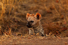 Hyena cub Royalty Free Stock Image