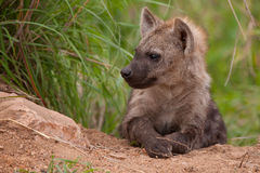 Hyena cub at den in Kruger. A spotted hyena cub sits outside his den in Kruger as he waits for the adults to come home royalty free stock image