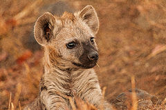 Hyena cub. This hyena cub has been left alone by its mummmy. This happen when the adult go out for hunting royalty free stock photography